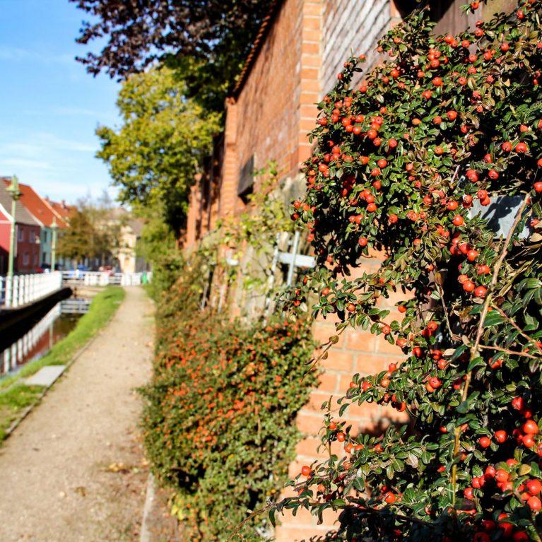 Stadtmauer mit Grünpflanzen und roten Beeren